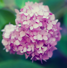 Close up of pink hydrangea flower