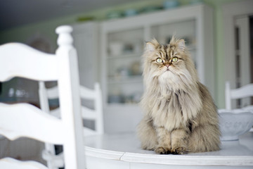 Persian cat sits atop table