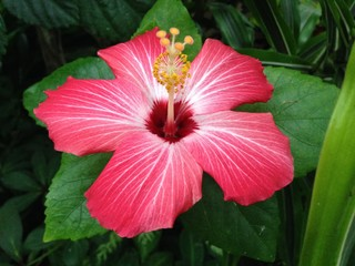 A Closeup of A Vibrant Pink Hibiscus Flower