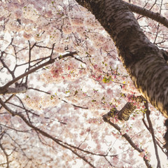 Cherry Blossom Tree Detail
