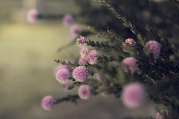 Fuzzy pink blooms on green branches reach for the light