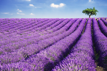 Landscape: rows of lavender, field in full bloom, one single tree up on the hill, summer, Provence, France