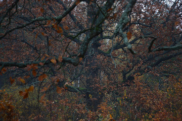 Oak background./In foggy morning a trunk, branches and oak leaves have created an autumn picture.