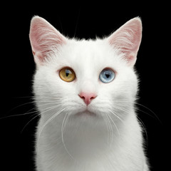 Portrait of Pure White Cat with odd eyes on Isolated Black Background, front view