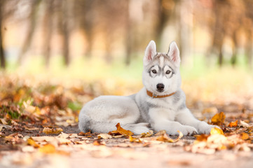 Dog, a Husky puppy, lies on the path in the park.