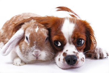 Dog and rabbit together. Animal friends. Sibling rivalry rabbit bunny pet white fox rex satin real live lop widder nhd german dwarf dutch with cavalier king charles spaniel dog. Christmas animals