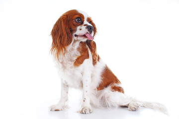 Cute funny dog photo. Cavalier king charles spaniel puppy dog on isolated white studio background. Funny puppy. Cute.