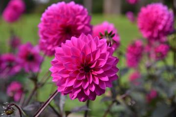 Poster de jardin Dahlia Dahlia rose en été au jardin