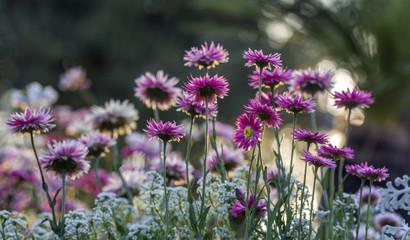 Pink Strawflowers against the light, Botanic Garden, Flowers, Gardenbed