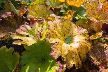 Leaves of the Rheum rhabarbarum in close-up.