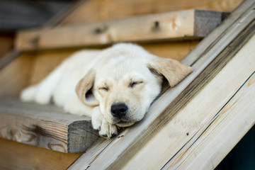 a fawn puppy of a labrador lies on a wooden staircase and sleeps
