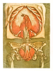 Human chest and hip anatomy. Muscles and bones. Detailed view of both elements. Retro style by A.E. Gautier D'Agoty in Cours complet d'anatomie, publ. Leclerc, Nancy, 1773