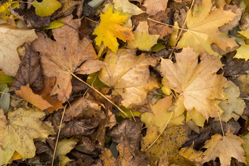 Photo closeup of autumn colorful yellow golden thick blanket of fallen dry maple leaves on ground deciduous abscission period over forest leaf litter background,