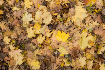 Photo closeup of autumn colorful yellow golden thick blanket of fallen dry maple leaves on ground deciduous abscission period over forest leaf litter background