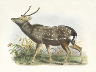Formosan sika deer (Cervus nippon taiouanus) alerted on grass. Old illustration by Joseph Wolf, published on On the Mammals of the Island of Formosa, London 1862