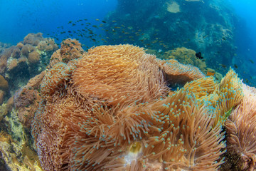 Anemone carpet underwater shot of deep blue water of Siam sea