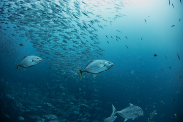 Underwater shot of fish in deep blue