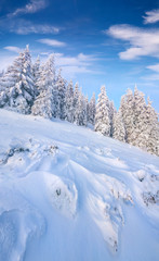 Picturesque winter morning in Carpathian mountains with snow covered fir trees