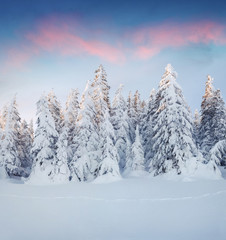 Marvelous winter sunrise in Carpathian mountains with snow cowered fit trees.