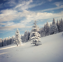 Marvelous winter landscape in Carpathian mountains with snow cowered fit trees.