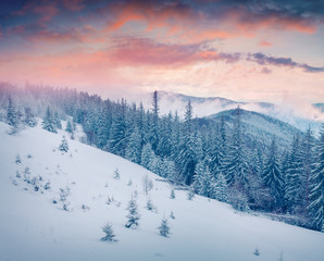 Picturesque winter sunrise in Carpathian mountains with snow cowered fir trees.
