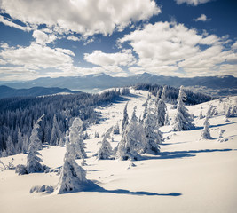 Sunny winter landscape in Carpathian mountains with snow cowered fit trees.