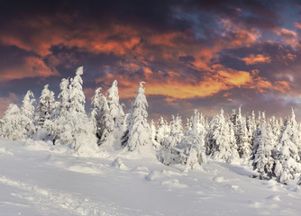 Dramatic winter sunrise in Carpathian mountains with snow cowered fir trees.