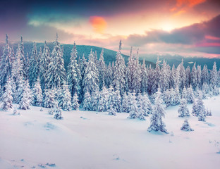 Dramatic winter sunset in Carpathian mountains with snow covered fir trees.