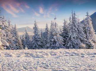 Fantastic winter sunrise in Carpathian mountains with snow covered fir trees.