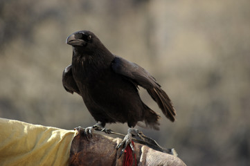 crow sitting on a hand