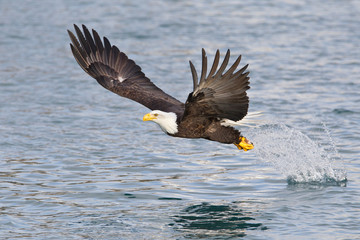 Bald eagle fishing with wings spread in Alaska
