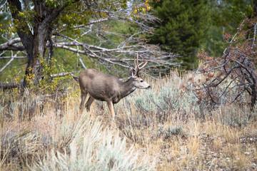 Western Mule Deer