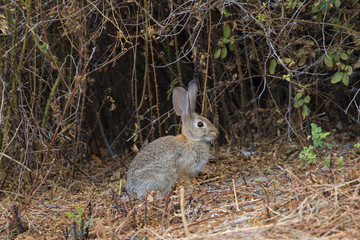 Rabbit at Los Angeles area park