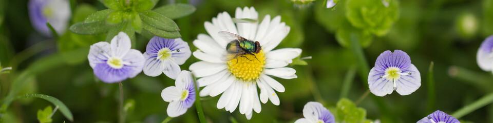 Fliege sitzt auf Margeritenblüte