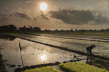 Farmer and rice landscape