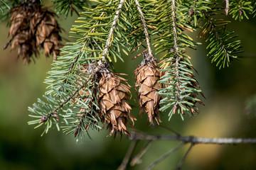 pine cones,