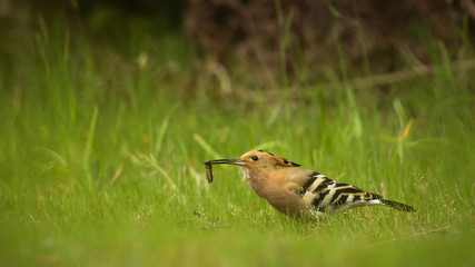 Hoopoe hunting insects