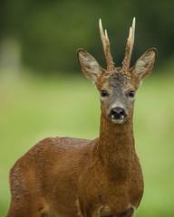 portrait of roe deer