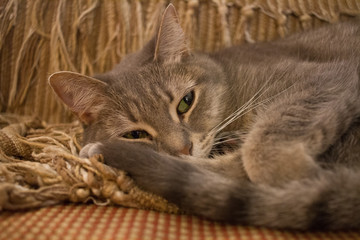 Sleepy Grey Tabby Cat