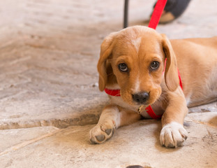 cute handsome redhead puppy lying on the road.