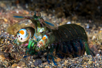 Curious mantis shrimp in Lembeh strait, Indonesia