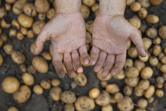 Dirty hands over potatoes