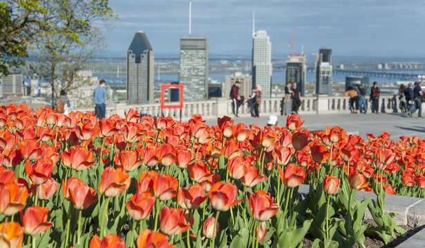 tulips blooming at the Chalet on Mont Royal