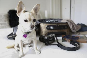 Dog sitting on bed near suitcase
