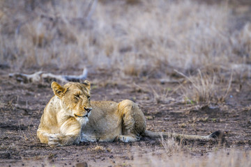 African lion in Kruger National park, South Africa