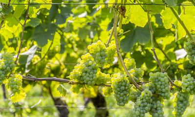 white grapes closeup