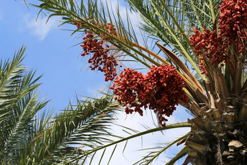 Large bunches of tasty and fragrant dates