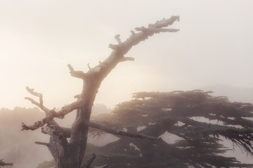 Turkish cedar forest in strong fog and mist at sunset