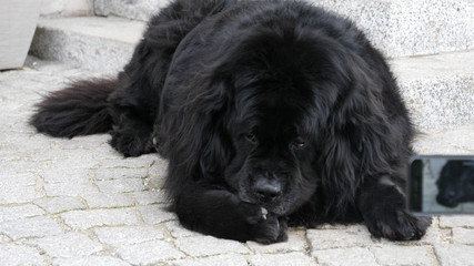 Big black dog being photographed with smartphone by hand holding it, outdoor