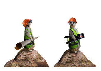Two isolated funny suricates constructor workers holding building level and project plan photo.